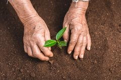 Young sprout in springtime,Closeup.Hands of farmer growing plant a tree natural background,Plant a tree growing plant The soil and. Seedlings in the old Stock Images