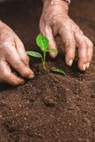 Young sprout in springtime,Closeup.Hands of farmer growing plant a tree natural background,Plant a tree growing plant The soil and. Seedlings in the old Stock Photo