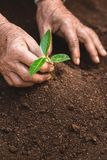 Young sprout in springtime,Closeup.Hands of farmer growing plant a tree natural background,Plant a tree growing plant The soil and. Seedlings in the old Royalty Free Stock Photo