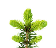 Young sprout of spruce isolated Stock Photo