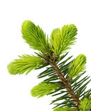 Young sprout of spruce isolated Stock Photography