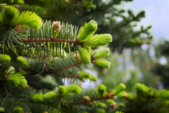 Young sprout of spruce Royalty Free Stock Images