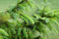 Young sprout of spruce with tip Stock Photo