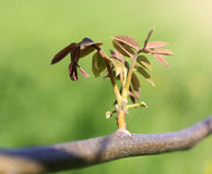 Young sprout of tree in sunshine on  green background Royalty Free Stock Photography