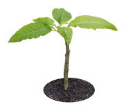 Young sprout of tropical plant isolated Stock Images