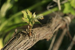 Young sprout of a vine. Stock Photography