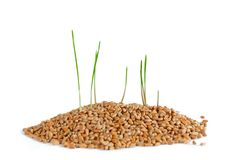 Young sprout in wheat Royalty Free Stock Image