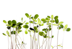Young sprouts Stock Photography