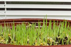 Young sprouts of barley in flower pot on the windowsill. Young sprouts of barley with dew drops during germinating seeds in flower pot to use for pets on a Stock Photo