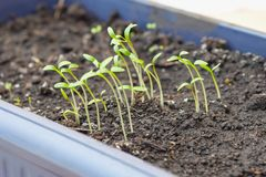 Young sprouts of culture, seedlings in a box for seedlings. Green shoots in spring in seedling container
