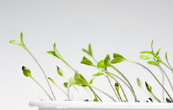 Young sprouts curves to light Royalty Free Stock Image