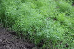 Young sprouts of dill. Growing young leaves of dill home gardens Stock Images