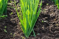 Young sprouts of green onions in the garden. Royalty Free Stock Images