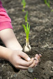 Young sprouts in the hands of a child Royalty Free Stock Photo
