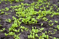 Young sprouts of lettuce in the garden on the wet ground royalty free stock images