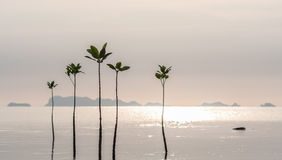 Young sprouts of mangrove tree in the sea or swamp at sunset in thailand, asia. Young sprouts of mangrove tree in the sea at sunset, thailand Stock Photography