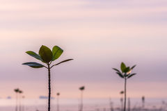 Young sprouts of mangrove tree in the sea or swamp at sunset in thailand, asia. Young sprouts of mangrove tree in the sea at sunset, thailand Royalty Free Stock Images