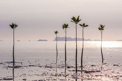 Young sprouts of mangrove tree in the sea or swamp at sunset in thailand, asia. Young sprouts of mangrove tree in the sea at sunset, thailand Stock Photos