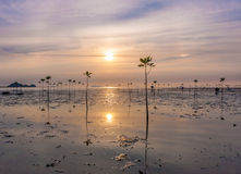 Young sprouts of mangrove tree in the sea or swamp at sunset in thailand, asia. Young sprouts of mangrove tree in the sea at sunset, thailand Royalty Free Stock Image