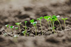Young sprouts of micro greens riszing from the ground royalty free stock image