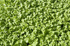 Young sprouts mustard plant Royalty Free Stock Photos