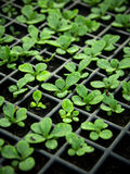 Young sprouts in nursery tray Royalty Free Stock Photo