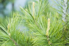 Young sprouts of pine tree Stock Photography