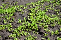 Young sprouts of salad in the garden on the sunshine, densely planted royalty free stock images