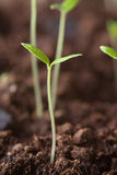 Young sprouts in the soil Stock Photos