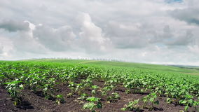 Young sprouts of sunflower and cumulus clouds in the sky. Panoramic movement to the right. stock video footage