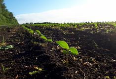 Young sprouts of sunflower on the field, spring concept royalty free stock photo