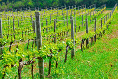 Young sprouts in the vineyard Royalty Free Stock Photos