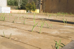 Young sprouts of wheat in the back of a truck Stock Image