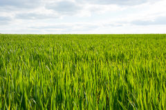 Young sprouts of wheat in a field in spring Royalty Free Stock Photos