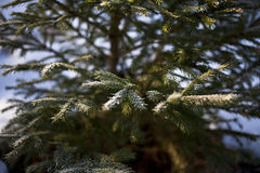Young Spruce. Close up of a spruce with snowy needles. Focus is shallow Royalty Free Stock Image