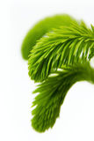 Young spruce branch Royalty Free Stock Photo