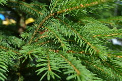 Young spruce. Branch begins its life Royalty Free Stock Photos