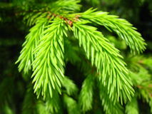 Free Young Spruce Branch, Macro View Stock Photography - 72759322