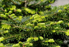 Young spruce branches background Royalty Free Stock Images