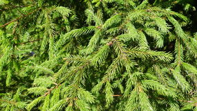Young spruce branches close up. Young fir branches close up Stock Photo