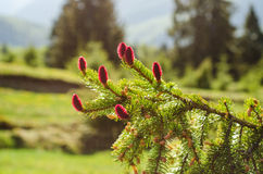 Young spruce cones Royalty Free Stock Image
