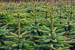Young Spruce forest Stock Images