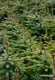 Young Spruce forest Royalty Free Stock Photo