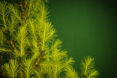 Young spruce on a green background Stock Photos