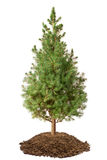 Young Spruce (Picea glauca Conica). Isolated on a white royalty free stock image
