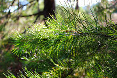 young spruce pine Royalty Free Stock Photo