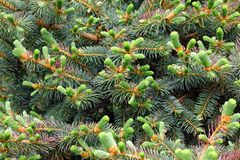 Young spruce shoots as Christmas wallpaper Stock Photography