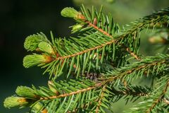 Free Young Spruce Shoots Closeup Selective Focus Stock Images - 219657644
