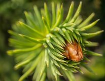 Young spruce shoots macro close Royalty Free Stock Images