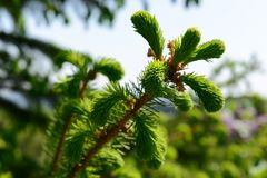 Young spruce with spiderweb pictured on sunny day, Close up. Royalty Free Stock Images